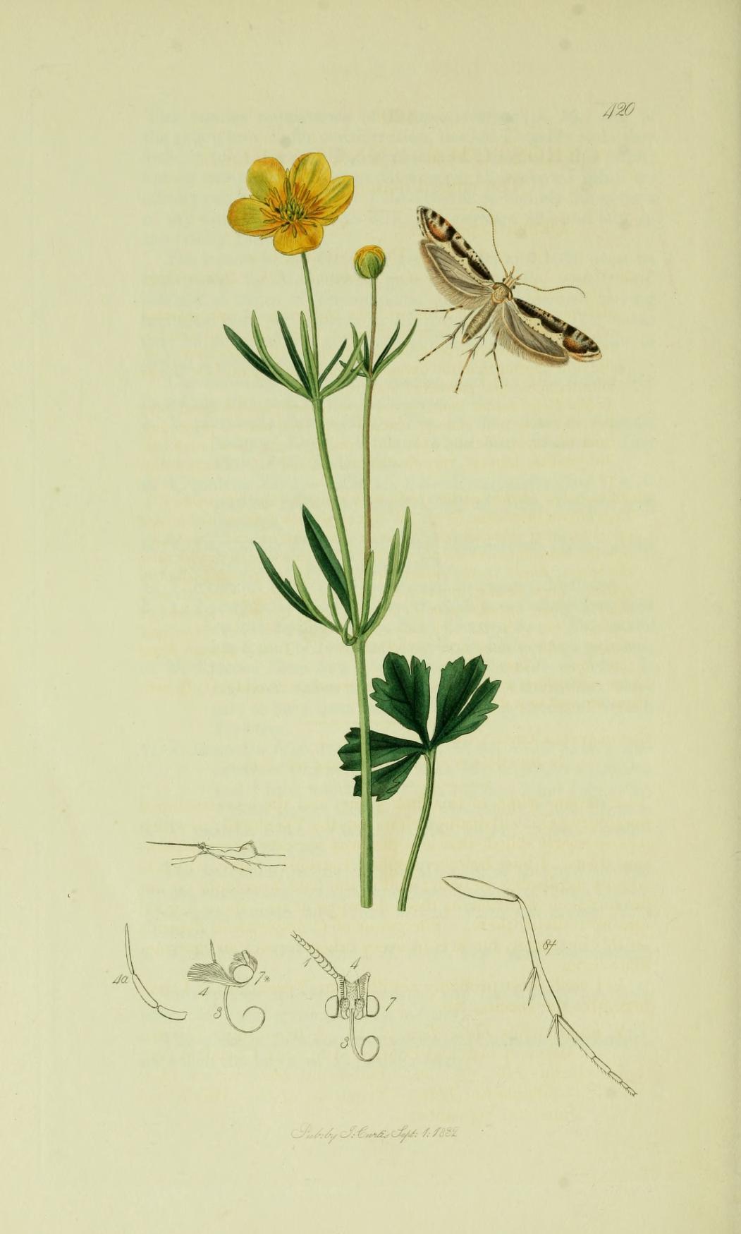 Image of <i>Rhigognostis annulatella</i> (Curtis 1832) Curtis 1832