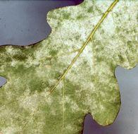Image of <i>Microsphaera alphitoides</i>