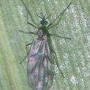 Image of Perissommatidae