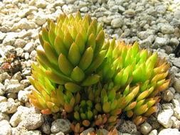 Image of <i>Orostachys japonica</i> A. Berger