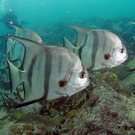 Image of Atlantic Spadefish