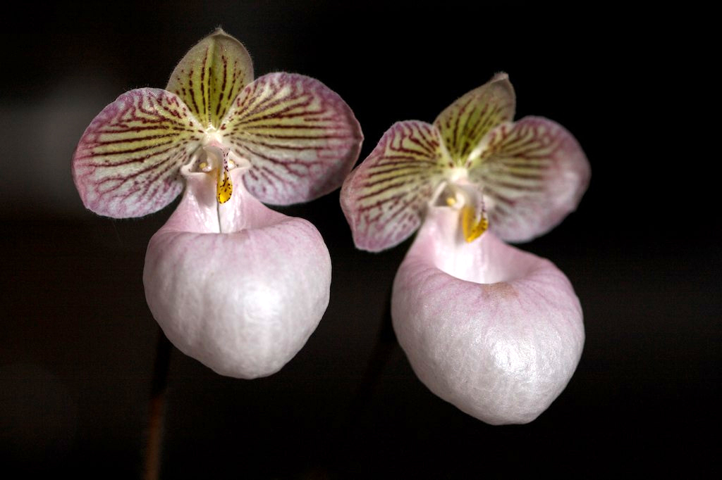 Image of Silver slipper orchid
