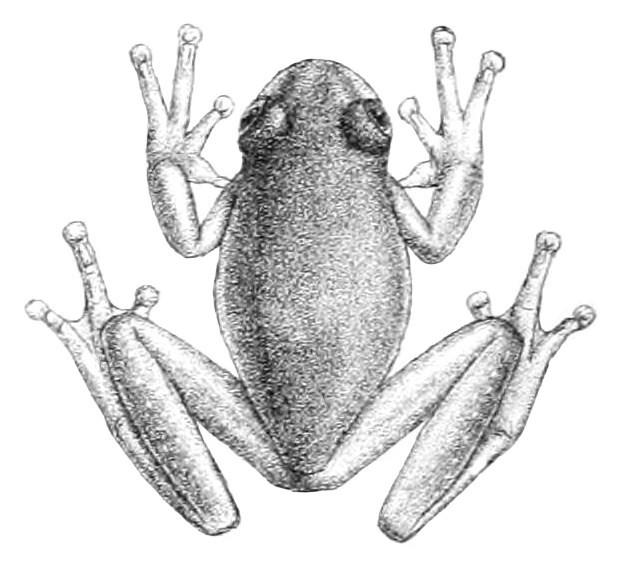 Image of Buckley's giant glass frog