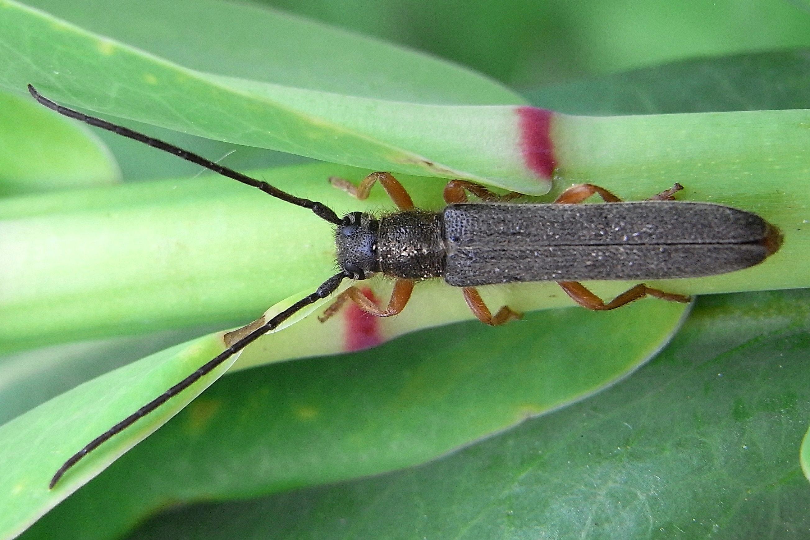 Image of <i>Oberea</i> (<i>Amaurostoma</i>) <i>euphorbiae</i> (Germar 1813)