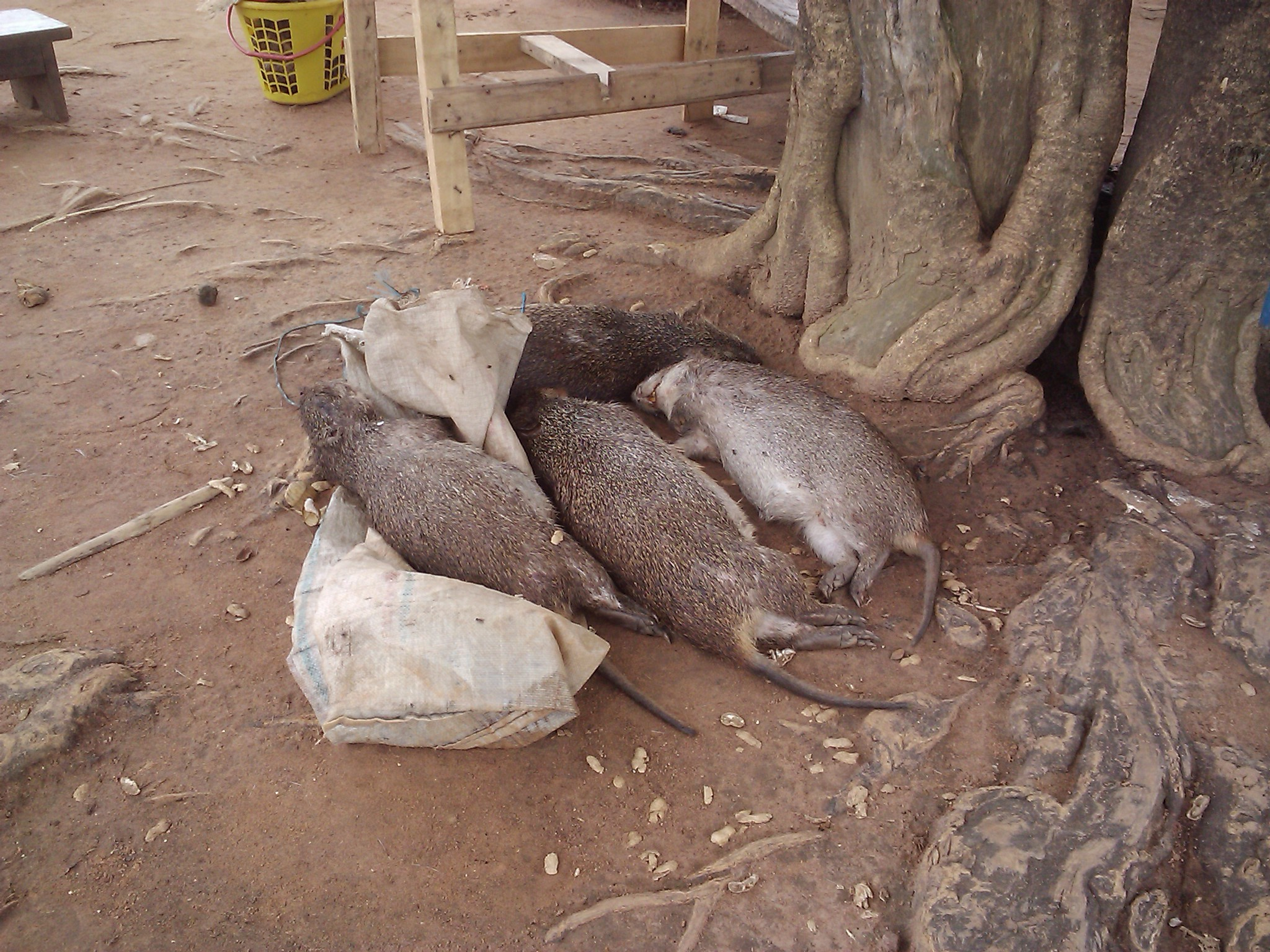 Image of Greater Cane Rat