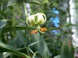 Image of <i>Lilium fargesii</i> Franch.