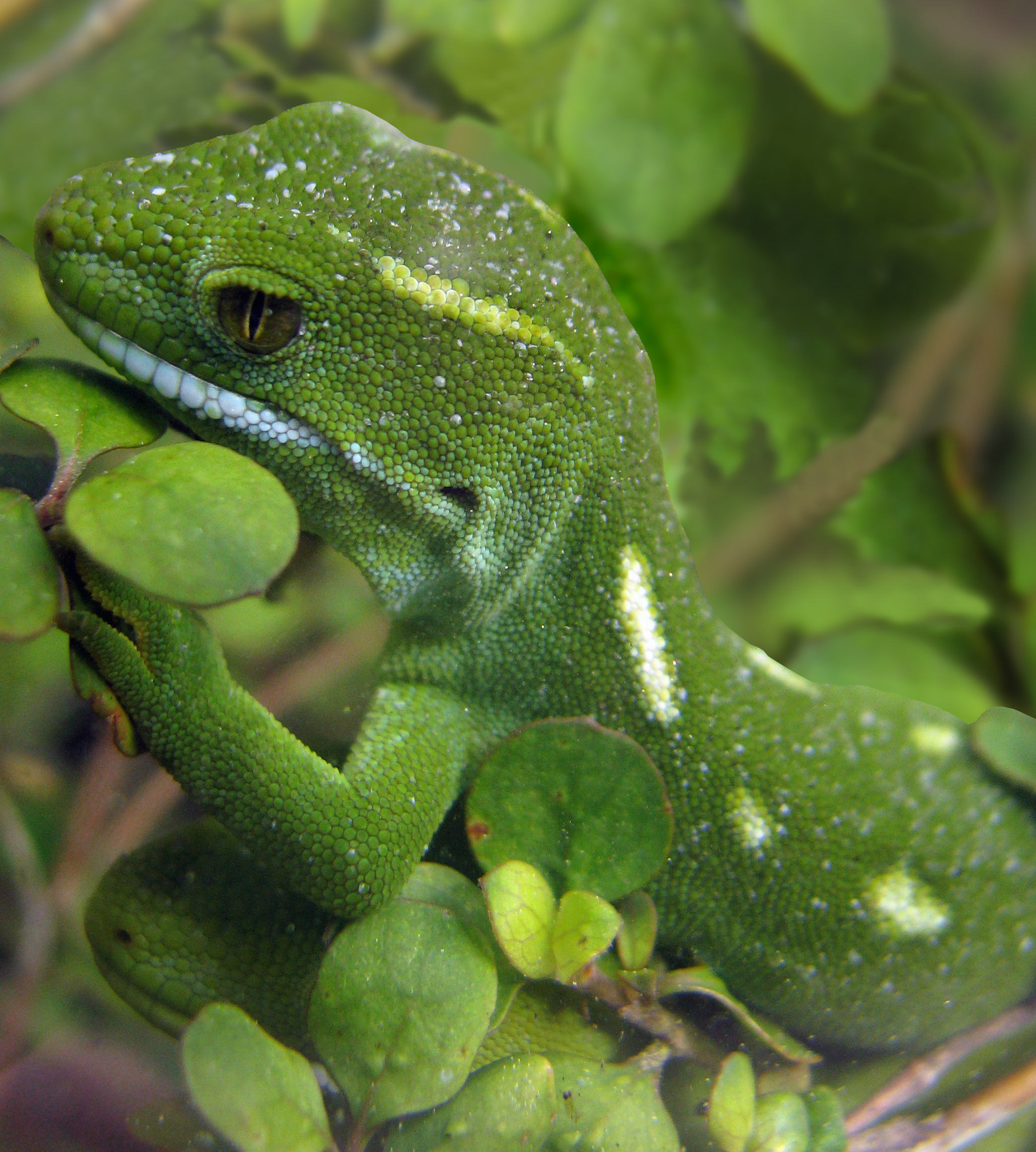 Image of Green Tree Gecko