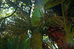 Image of Nikau palm