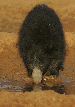 Image of Sri Lankan sloth bear