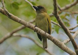 Image of Green Barbet