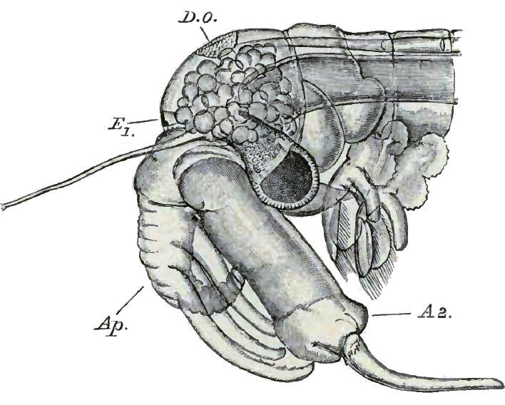 Image of Fairy Shrimp