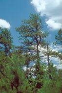 Image of <i>Phytophthora cinnamomi</i>