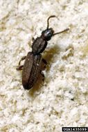 Image of sawtoothed grain beetle