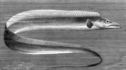 Image of Southern frostfish