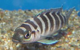 Image of <i>Neolamprologus cylindricus</i> Staeck & Seegers 1986