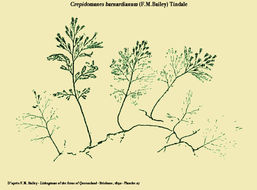 Image of Crepidomanes