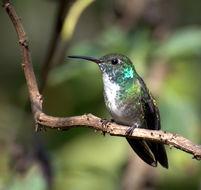 Image of Versicolored Emerald
