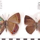 Image of Austrozephyrus