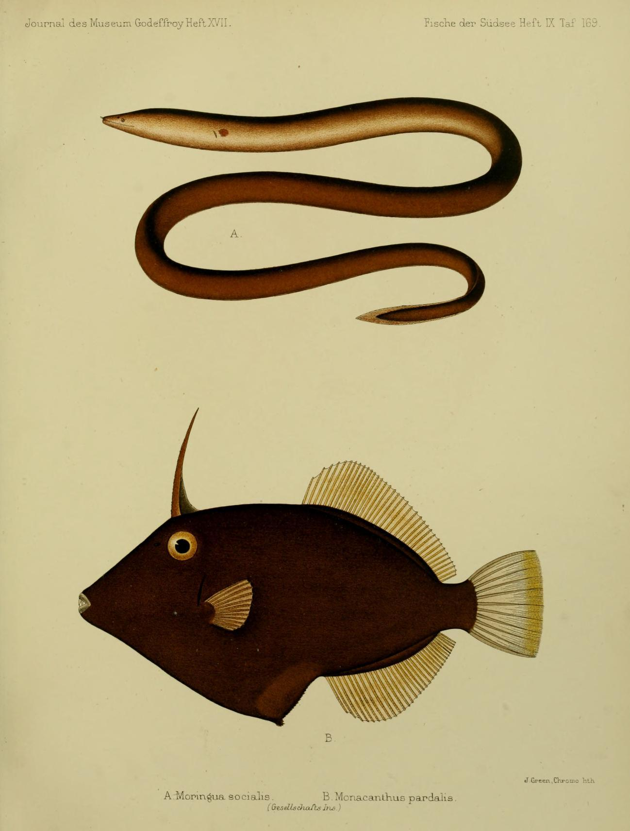 Image of Honeycomb Filefish