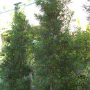 Image of Buddhist Pine