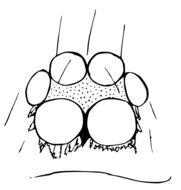 Image of Ischnothyreus