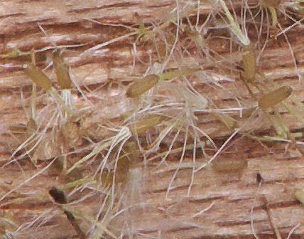 Image of marsh cudweed