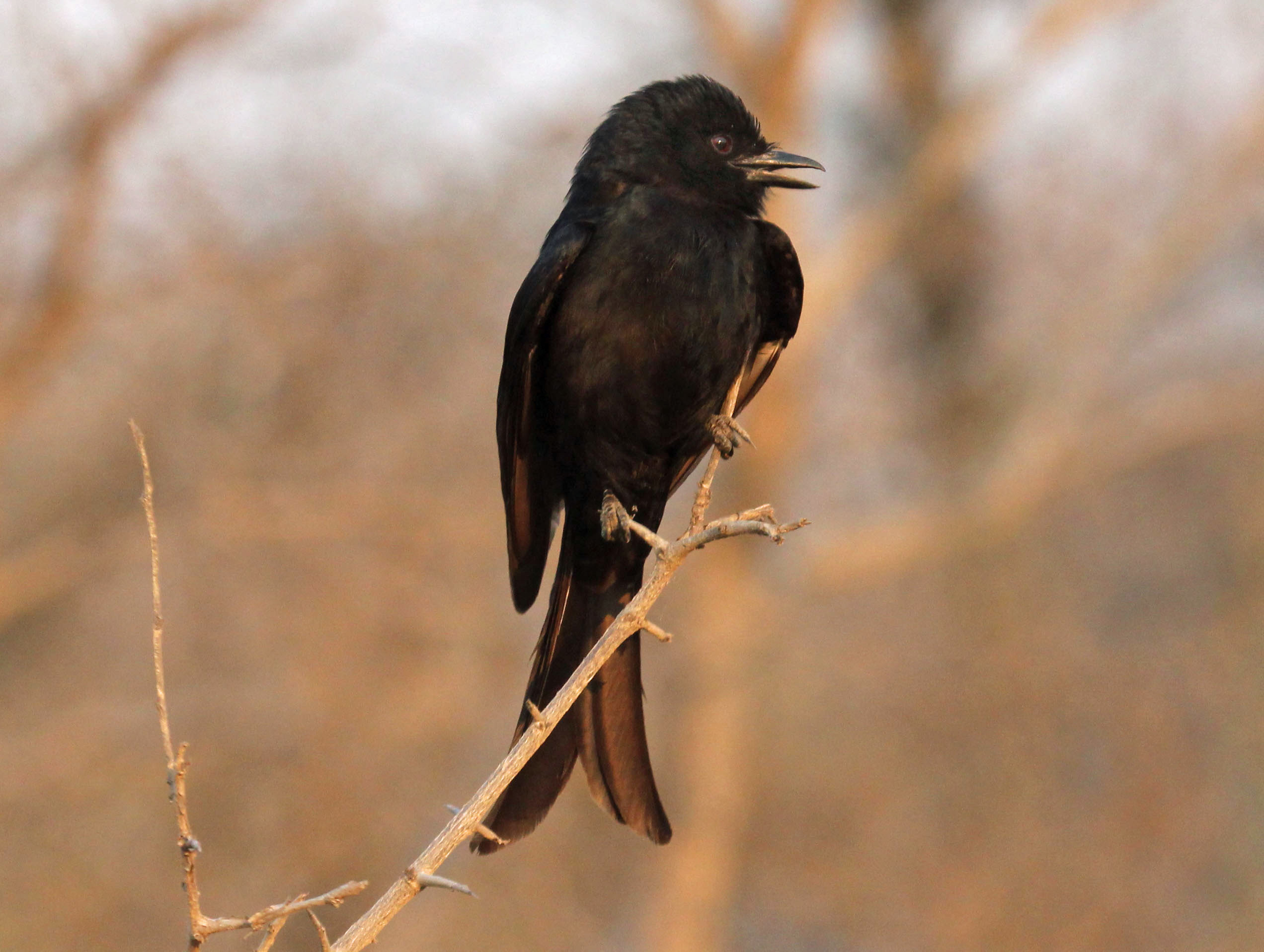 Image of Fork-tailed Drongo