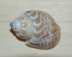 Image of babylon snails
