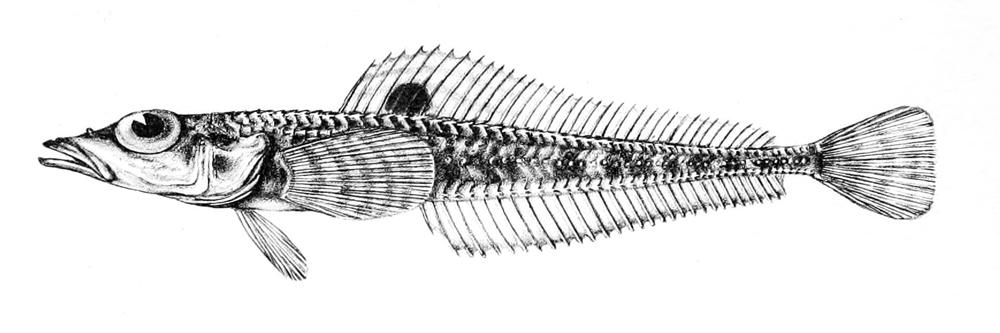 Image of <i>Prionodraco evansii</i> Regan 1914
