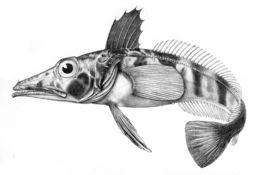 Image of <i>Chionodraco hamatus</i> (Lönnberg 1905)