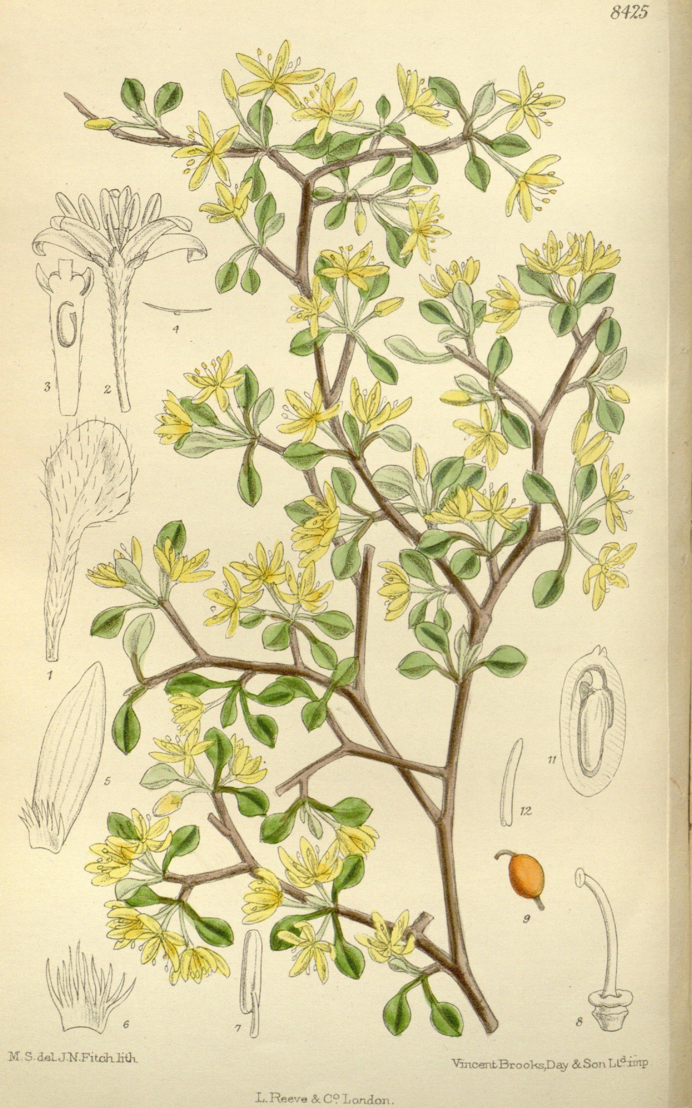 Image of <i>Corokia cotoneaster</i> Raoul