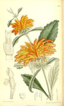 Image of Broadleaf leonotis