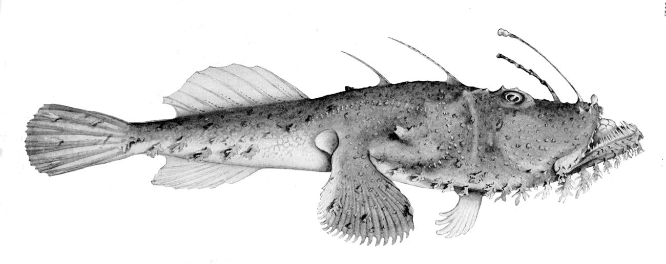 Image of <i>Lophiomus setigerus</i> (Vahl 1797)