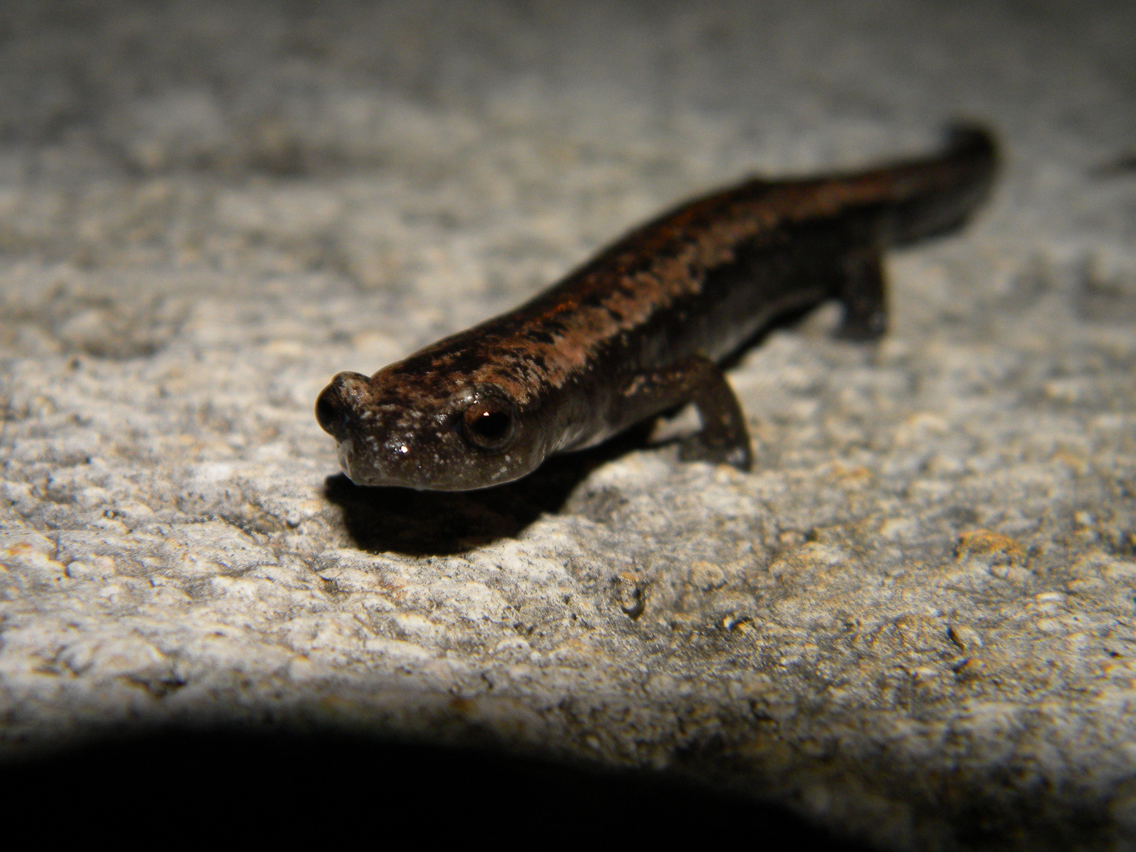 Image of Yucatan Mushroomtongue Salamander