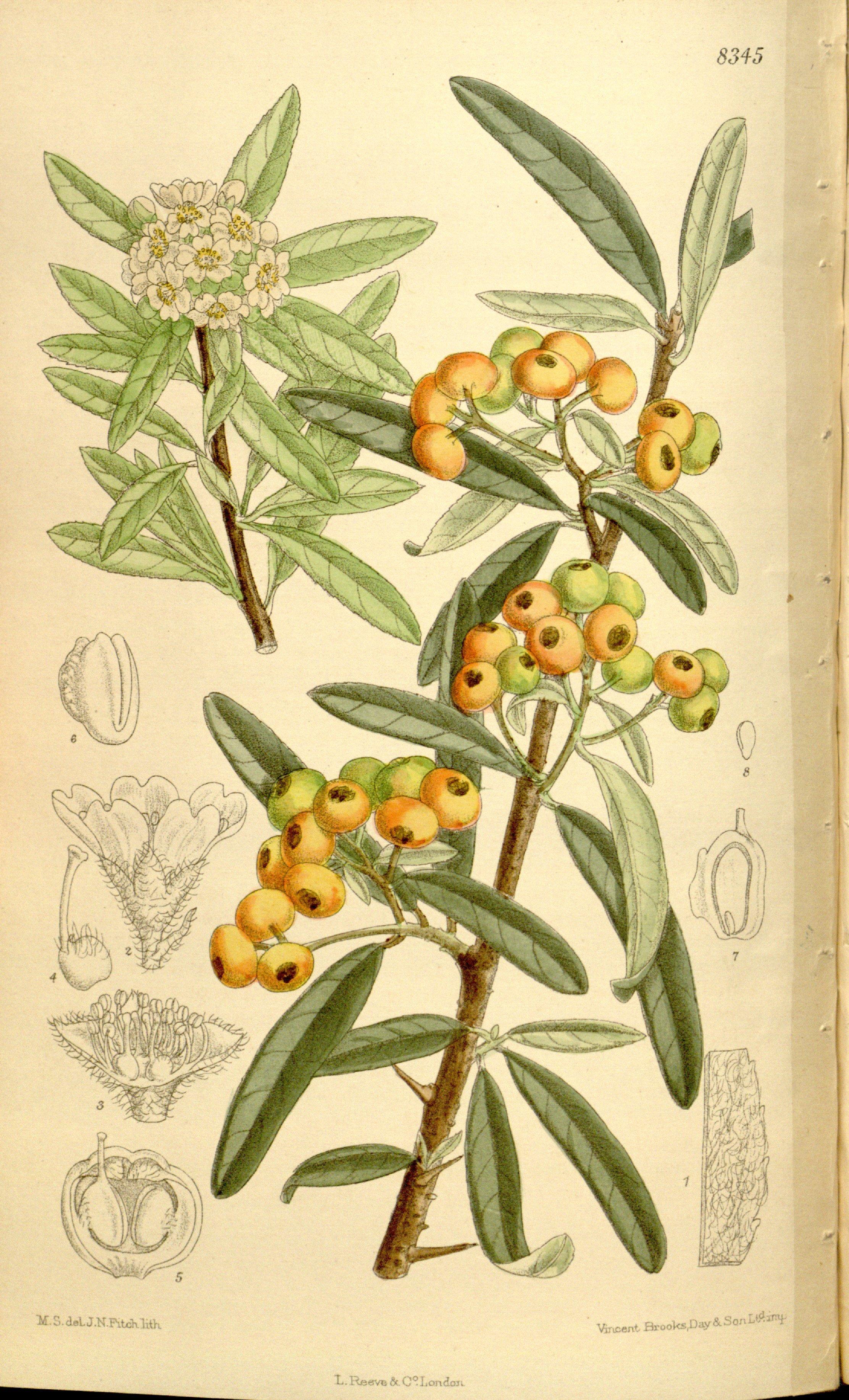 Image of narrowleaf firethorn