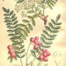 Image of Vilmorin's Rowan