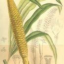 Image of <i>Cycas micholitzii</i> Dyer