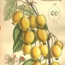 Image of <i>Malus asiatica</i> Nakai