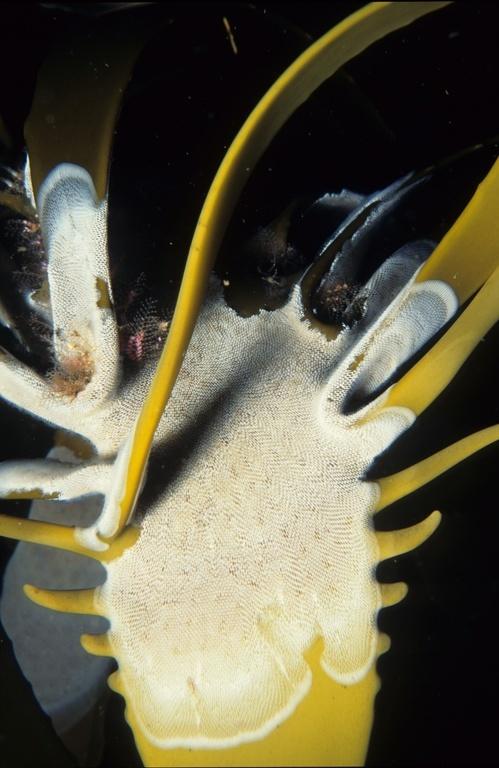 Image of <i>Ecklonia maxima</i>