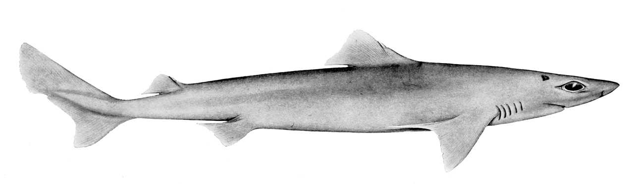Image of Endeavour Dogfish