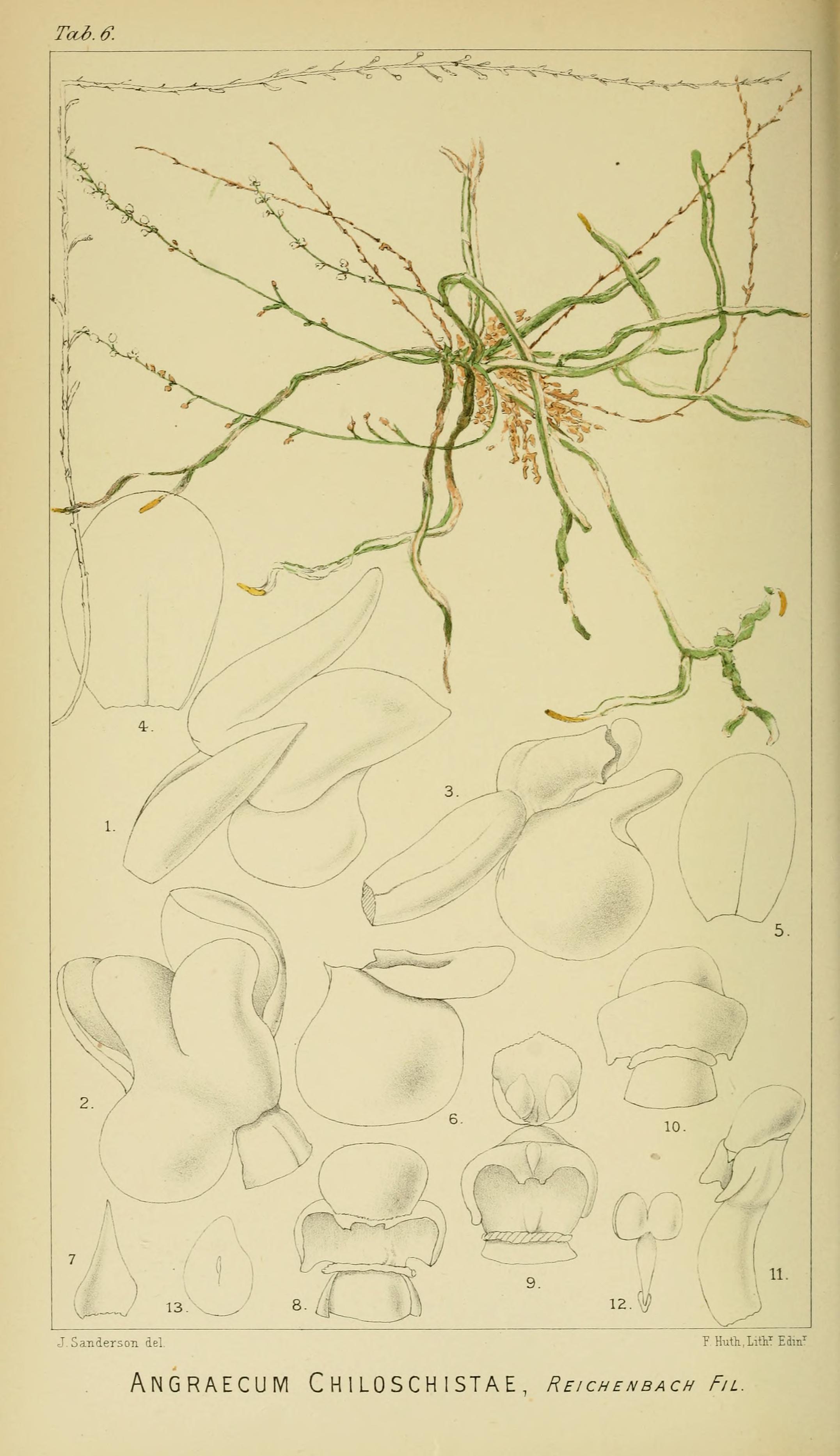 Image of Microcoelia