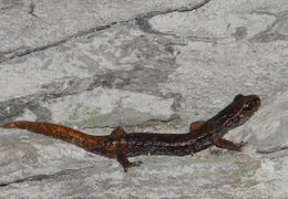 Image of <i>Speleomantes italicus</i>