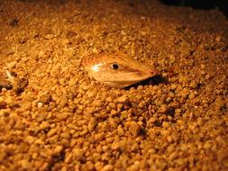 Image of Common sandfish