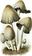Image of Common inkcap