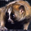 Image of slow loris