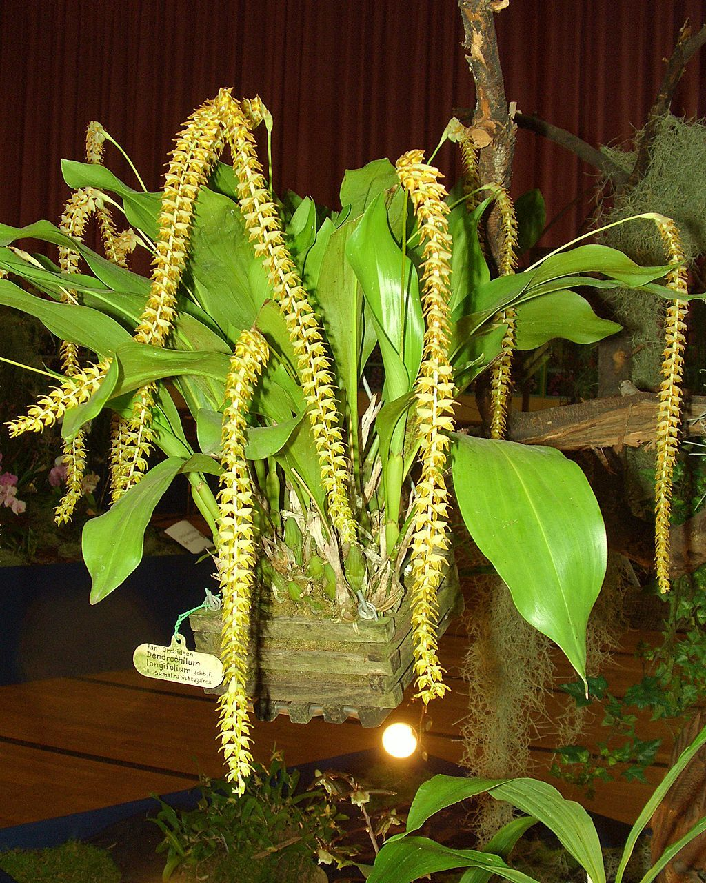 Image of Long-leaved dendrochilum