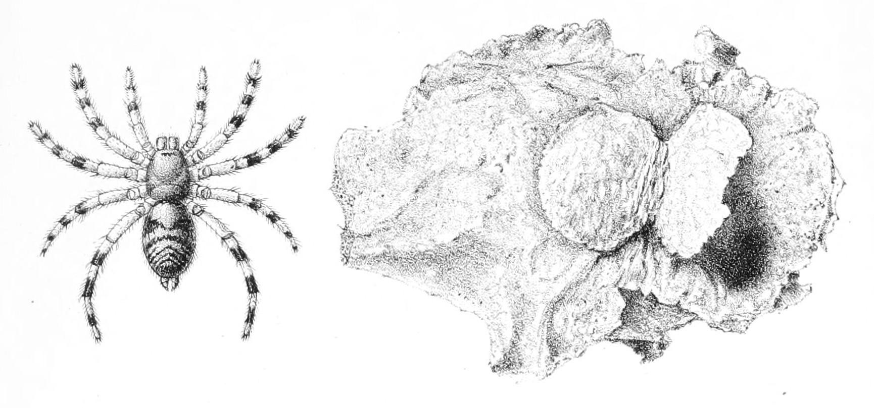 Image of <i>Sason robustum</i> (O. Pickard-Cambridge 1883)
