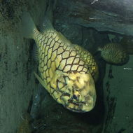 Image of Japanese Pinecone-fish