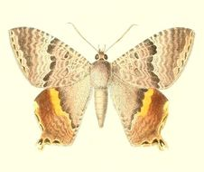 Image of <i>Homidiana subpicta</i> Walker 1854