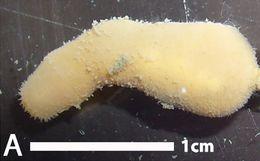 Image of Halicryptus